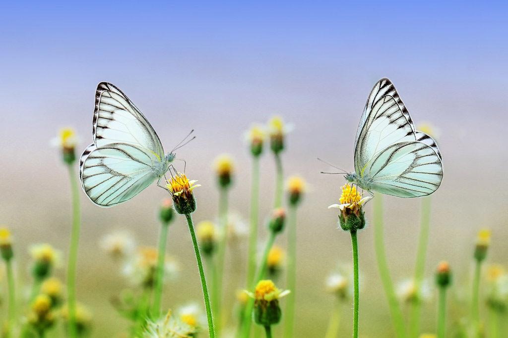Foto: zwei Falter auf Blüten
